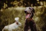 Scottish Deerhound picture