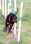 Toy - Male Manchester Terrier