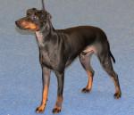 Koira - Manchester Terrier