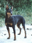Manchester Terrier picture