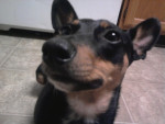 the sweetest - Manchester Terrier