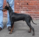 Maxx - Male Manchester Terrier (2 years)