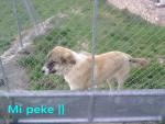 Tarzan - Male Spanish Mastiff (2 years)