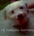Diana - Spanish Mastiff (8 years)