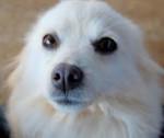 Charlie - Spanish Mastiff (1 year)