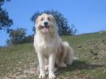Tara - Spanish Mastiff (2 years)