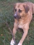 Mika - Male Spanish Mastiff (4 months)