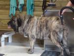 matin espagnol joselito mastibe - Spanish Mastiff