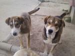 diablo - Male Spanish Mastiff (11 months)