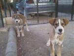 linda - Spanish Mastiff (11 months)