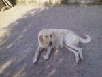 ruth - Spanish Mastiff (4 years)