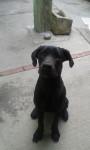 muñeca - Neapolitan mastiff (8 months)