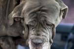 Neapolitan mastiff picture
