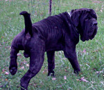 NEUTRON - Male Neapolitan mastiff (1 year and 10 months)