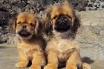 Kappa et Samy pékinois de 5 mois - Pekingese (5 months)