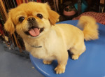 Charlie - Male Pekingese (5 years and 9 months)