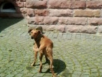 Arusha - German Pinscher (10 years)