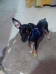 Tobby - Male German Pinscher (4 months)