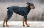 German Pinscher picture