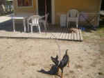 Blacky protège la maison ! - Male Miniature Pinscher (2 years)