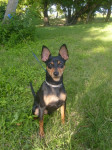 Blacky - Male Miniature Pinscher (3 years)