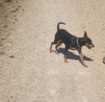 Blacky en promenade - Male Miniature Pinscher (2 years)
