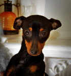 Hermes - Male Miniature Pinscher
