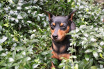 Nitro - Miniature Pinscher