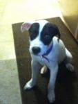 Zoey - Pointer (3 months)