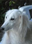 Hommage à Xeres décédé le 10 août 2010 - Saluki