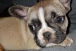 Bouledogue Français Très simpa a donner - Male French Bulldog (3 months)
