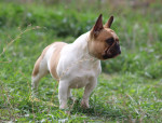 Mandy - Male French Bulldog (3 years)