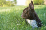 French Bulldog picture