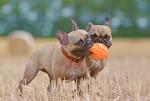 Deux Bouledogues Français jouent avec une balle