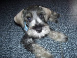 Doggy - Male Standard Schnauzer (10 months)