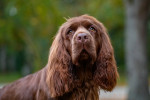Sussex Spaniel picture