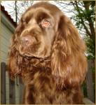 Elastic - Sussex Spaniel (2 years)