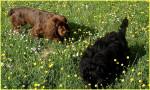 Elastic dans la prairie - Sussex Spaniel (2 years)