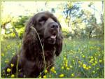 Elastic en las flores - Sussex Spaniel (2 years)