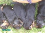 ökih - Male Brazilian Terrier (1 month)