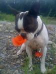 Sumo - Male Brazilian Terrier (3 years)