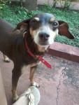Talia - Brazilian Terrier (12 years)