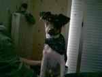 errado terrier brésilien - Brazilian Terrier