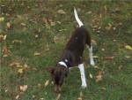 Errado du repère des mandets terrier brésilien - Brazilian Terrier