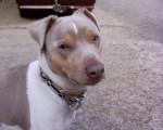 Alto, Terrier Brésilien, 5 ans - Brazilian Terrier (5 years)