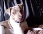 Terrier Brésilien 5 ans : Alto - Brazilian Terrier (5 years)