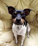 Laika - Brazilian Terrier