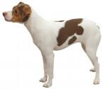 Brazilian Terrier picture