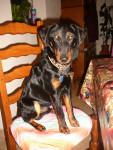 Tyson - Male Jagdterrier (1 year)