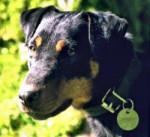 Terrier de Chasse Allemand - Jagdterrier
